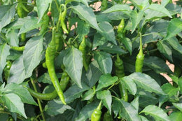Pepper Trials 2015