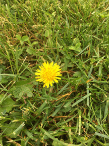 Don't Kill the Dandelions