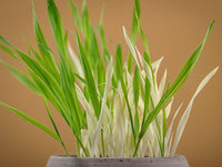 Variegated Cat Grass (Pkt)