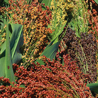 Mixed Colors Broomcorn Sorghum (Pkt)