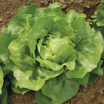 Optima Butterhead Lettuce