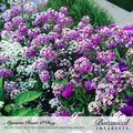 Alyssum Sweet Rosie O'day