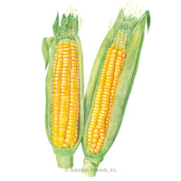 Golden Bantam 8 Row Sweet Corn