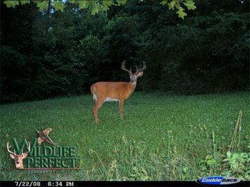 Wildlife Buck Grazer Mixture