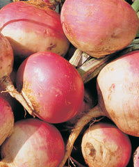 Purple Top White Globe Turnip - Forage