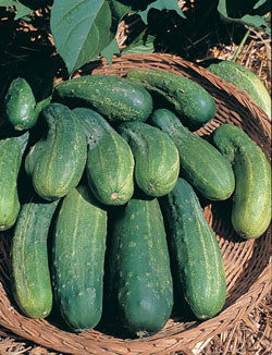 Bush Crop Cucumber