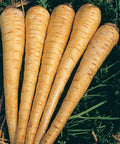 Hollow Crown Parsnip