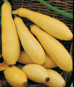 Early Prolific Straightneck Squash