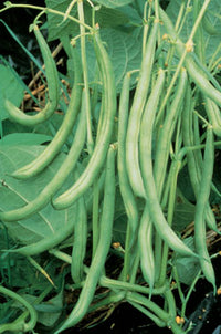 Burpees Stringless Green-pod Beans