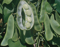 King Of The Garden Pole Lima Beans
