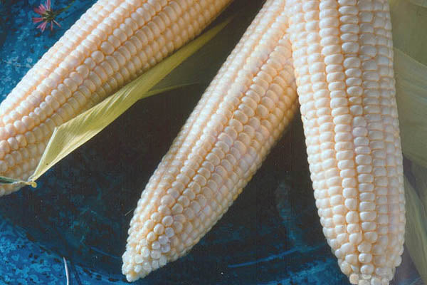 Argent White Sweet Corn