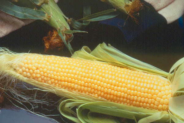Incredible R/m Sweet Corn