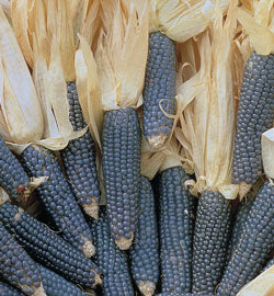 Mini Blue Popcorn Ornamental Corn