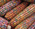 Earth Tones Dent Ornamental Corn
