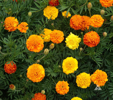 French Dwarf Mixed Marigold
