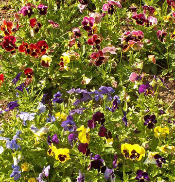 Swiss Giant Mixed Pansy