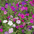Multiflora Mixed Petunia