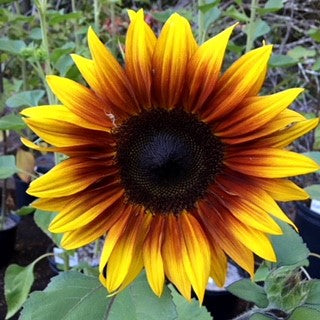 Firecracker Sunflower