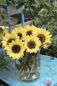 Sunrich Limoncello Summer Sunflower