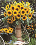 Sunrich Orange Sunflower
