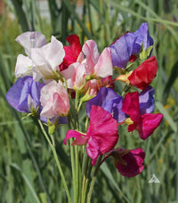 Mammoth Mix Sweet Peas