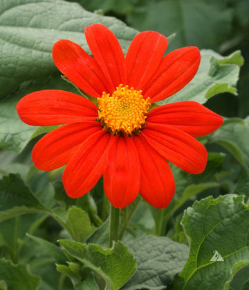 Torch Tithonia - Mexican Sunflower