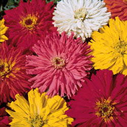 Cactus Flowered Mix Zinnia
