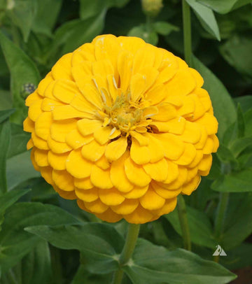 Canary Bird Zinnia