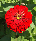 Cherry Queen Zinnia
