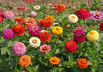 Cut & Come Again Mix Zinnia