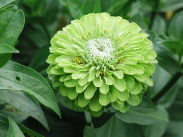 Envy Green Zinnia
