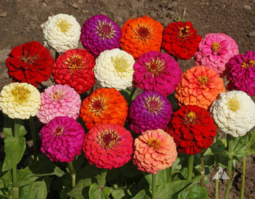 Lilliput Double  Zinnia Mix