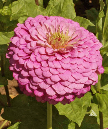 Miss Willmott Pink 'luminosa' Zinnia