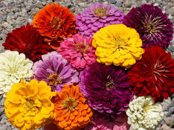 Dahlia-flowered Mix Zinnia