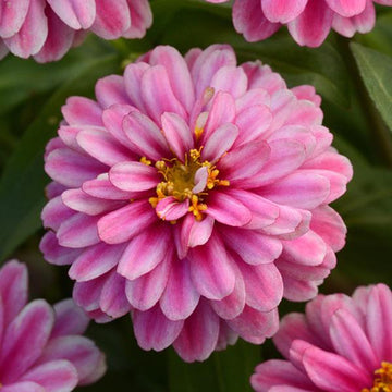 Raspberry Ripple Double Zahara Zinnia