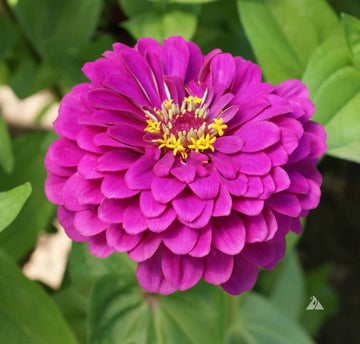 Royal Purple Zinnia