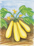 Organic Early Prolific Straight Squash (Pkt)