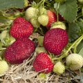Honeoye Strawberry Plants