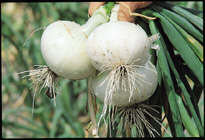 White Bermuda Onion Plants