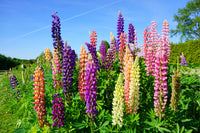 Russel Mix Lupine