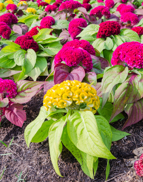Crested Mixed Celosia