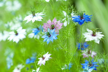 Nigella Love-in-a-mist