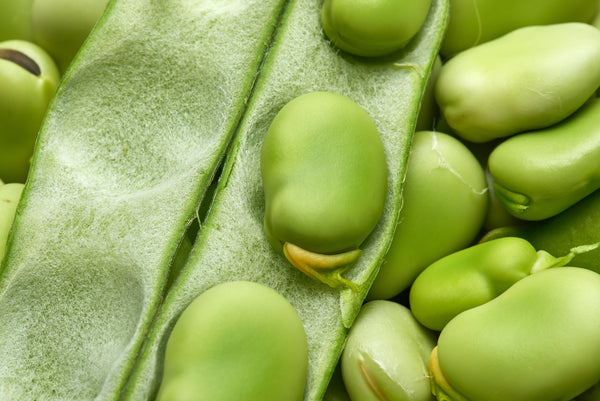 Broad Windsor Fava Beans