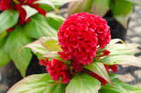 New Scarlet Red Celosia