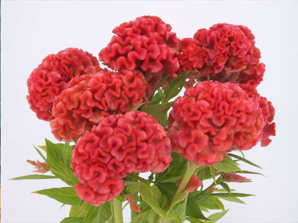 Orange Peach Celosia