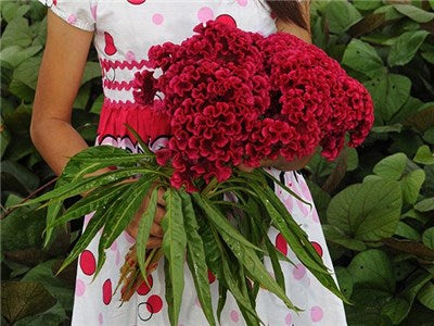 Tornado Red Cockscomb Celosia