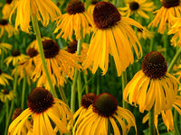 Echinacea Yellow Coneflower