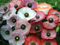Mother Of Pearl Poppy