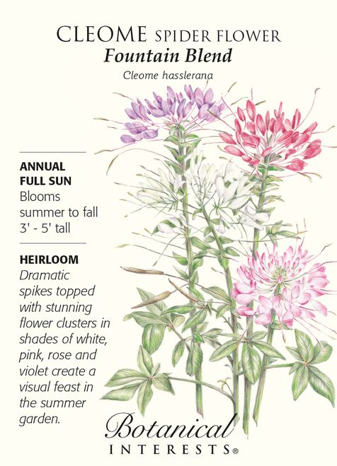 Fountain Blend Cleome