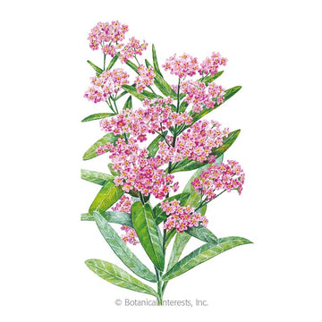 Forget-me-not Vicotria Pink